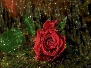 Rosa en la lluvia...